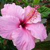 Hibiscus, Easter Island.