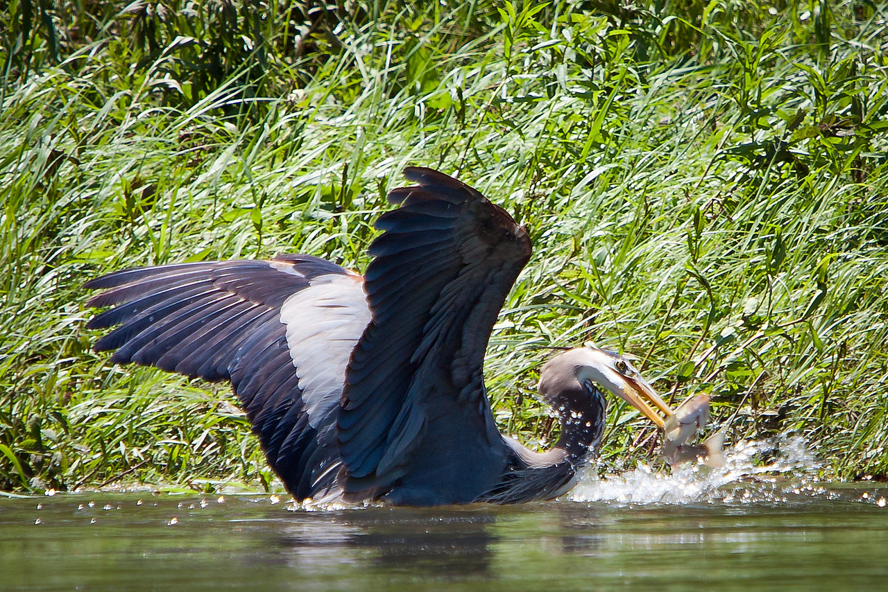 "<a href=""http://en.wikipedia.org/wiki/Great_Blue_Heron"" title=""Ardea herodias"">Great Blue Heron</a>"