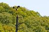 "<a href=""http://en.wikipedia.org/wiki/Bald_Eagle"" title=""Haliaeetus leucocephalus"">Bald Eagle</a>"