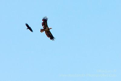 Bald Eagle American Crow