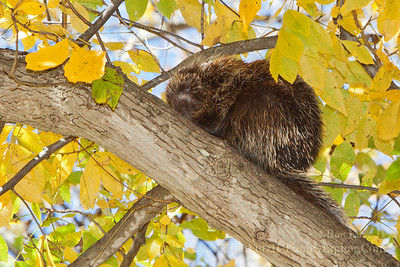 North American Porcupine