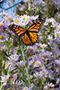 "<a href=""http://en.wikipedia.org/wiki/Monarch_butterfly"" title=""Danaus plexippus"">Monarch butterfly</a>"