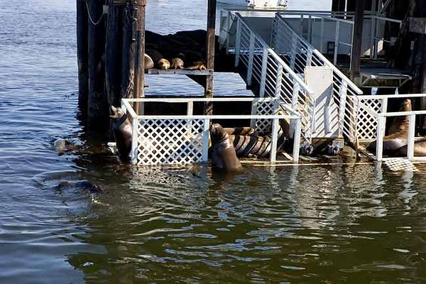 HARBOR SEALS IN MONTEREY HARBOR
