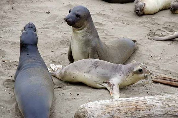 JUVENILE ELEPHANT SEALS