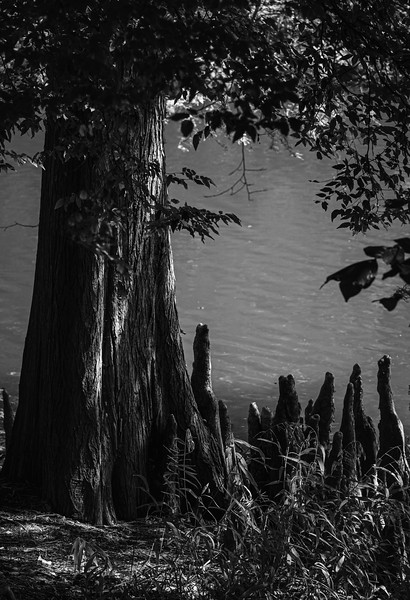 """BALD CYPRESS TREE AND """"KNEES"""""""
