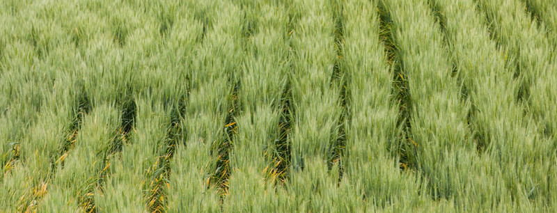 """ROWS"" OF WHEAT"