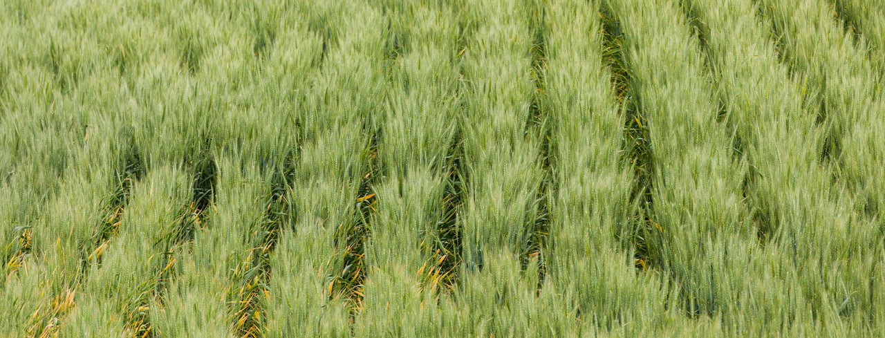 """""""ROWS"""" OF WHEAT"""