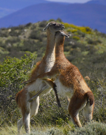 courtship of the Guanacos
