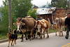 We frequently had to share the road with the local livestock
