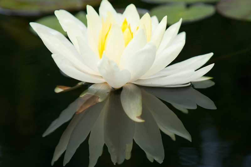 White Water lily blossom with reflections enhanced by polarizer