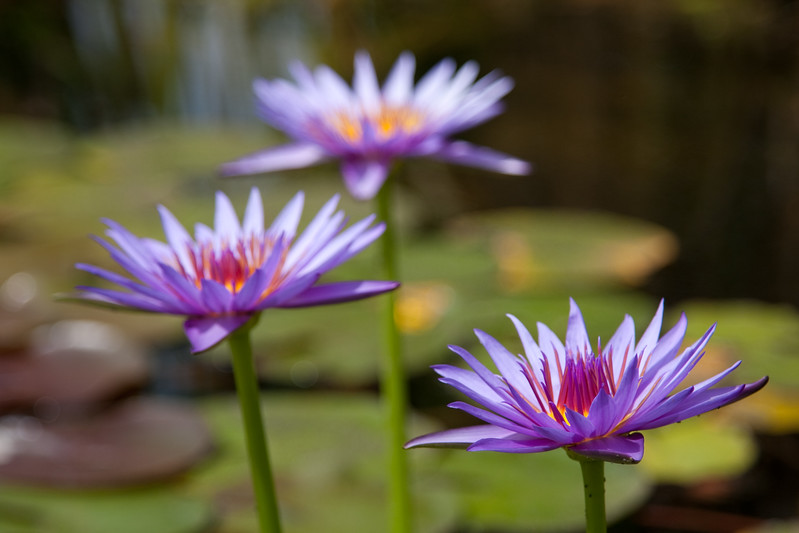 Lavender water lily blossoms