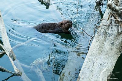 Curious Beaver