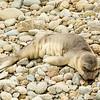 Baby Elephant Seal, Point Reyes National Seashore