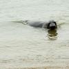Elephant Seal, Point Reyes National Seashore