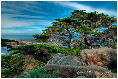 Cypress grove at Point Lobos.