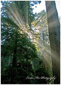 Mist in the redwoods.