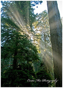 Mist in the redwoods.