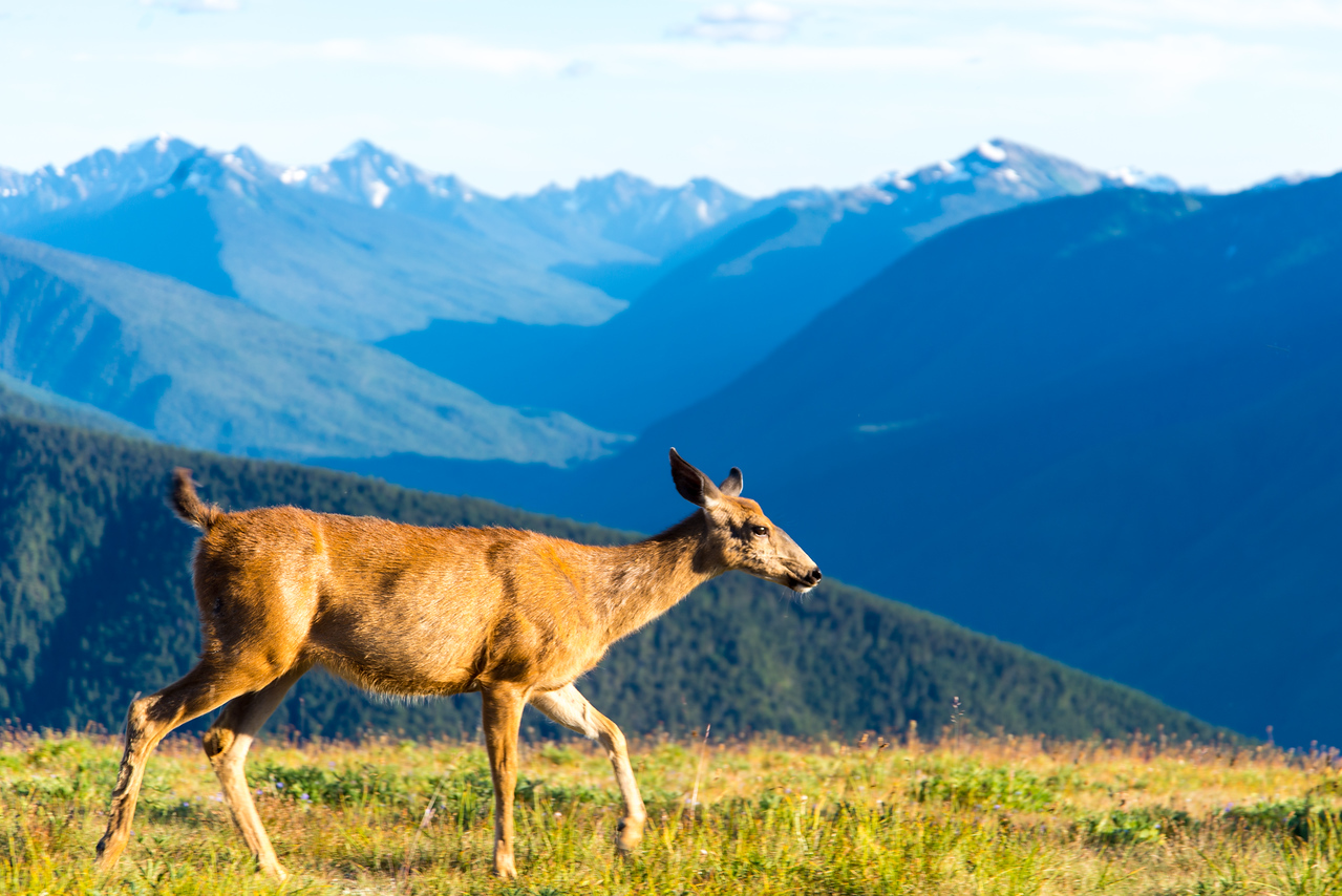 A deer in Olympic National Park