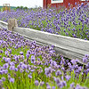 Lavender farm near Port Angeles WA
