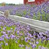 Lavender farm near Port Angeles WA