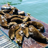 Male seals on a raft