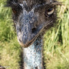 Emu on guard at winery