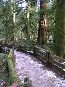 A severe windstorm in January 1997  damaged several sections of the park and toppled many of these huge and ancient trees.  Not all of the trails (some are actually walkways, not hikes, so almost anyone can enjoy this experience) have been repaired and reopened, but you can still experience the unique majesty of the site.