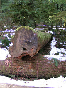 This tree appears to have been cut down and not blown over in a storm.  The present handling of and future plans for the Grove and the land surrounding it are not without controversy.  Please visit  http://www.cathedralgrove.com/index.html for more information.