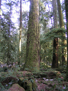 Although many of the largest trees were lost in the windstorm, enough remain to be awe inspiring.  It is easy to understand how this part of the park came to be called Cathedral Grove.