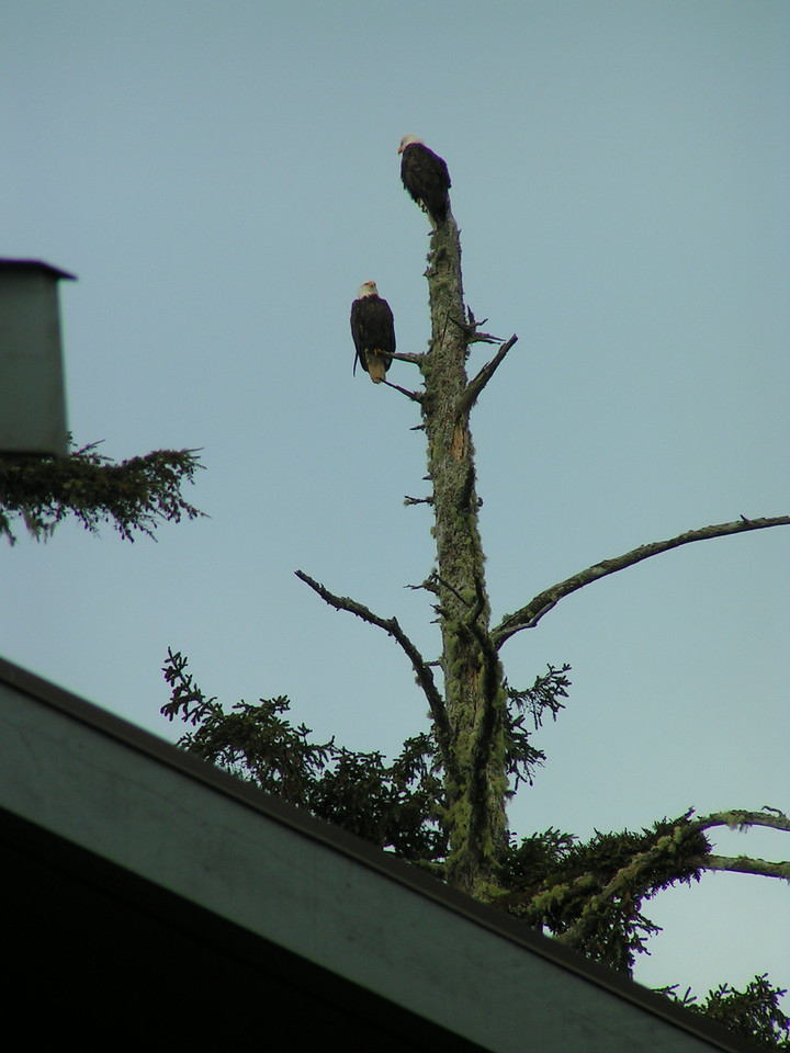 Two of the bald eagles (a nesting pair) that nest on or near the property, witness our arrival.