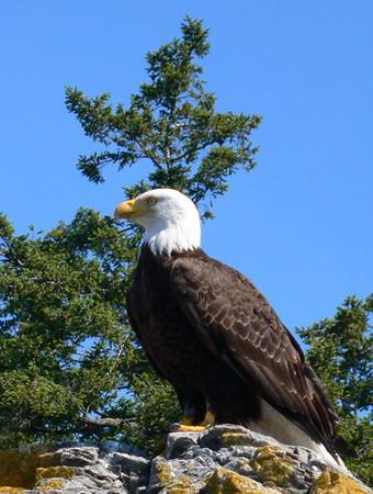 Eagle, Orcas island, WA