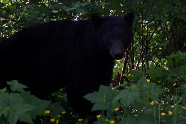 Big black bear, eating berries, Vancouver Island, BC