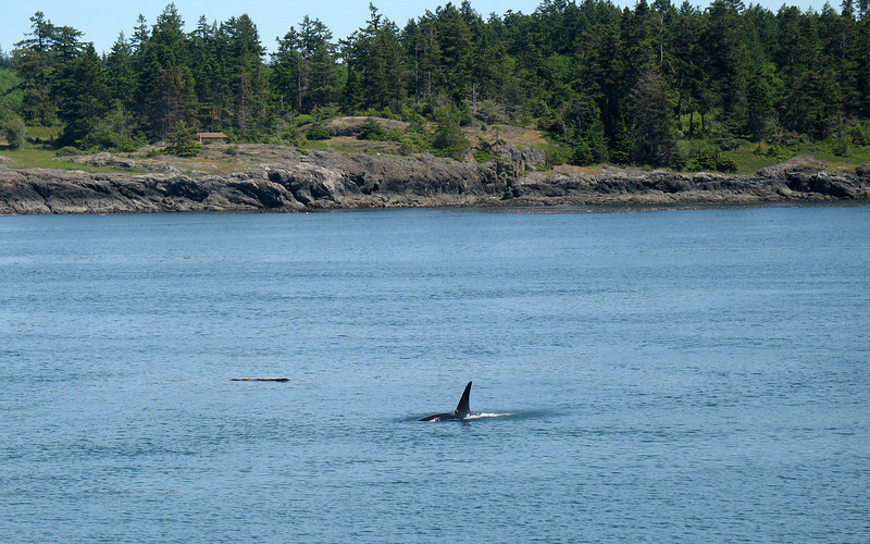 Orca, San Juan Islands, WA. Image Copyright 2006 by DJB.  All Rights Reserved.