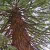 Redwood Tree, Butchart Gardens, Victoria, BC