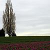 Tulip Field, Washington State