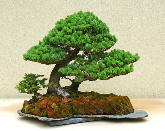 Pacific Rim Bonsai Collection 2012