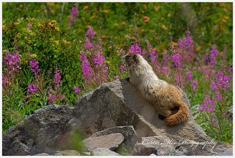 Marmot sunning himself.