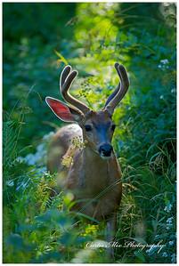 Backlit Blacktail deer.