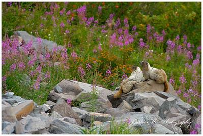 Marmot rock.
