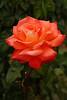 Immediately across from the Japanese gardens is Portland's International Rose Test Garden.
