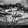 Black and White Moluccan Albizia tree