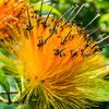 Orange 'Ohi'a Lehua