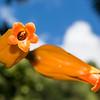 Trumpet creeper bloom
