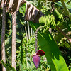 Deep red Banana bud; Musa acuminata – Banana