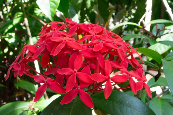 Cluster of Red Ixora flower