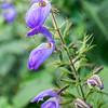 Purple ginger flower