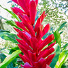 Pink cone ginger
