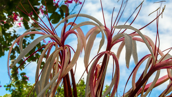 Burgundy and white Spider lilies