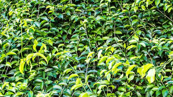 Ground vines