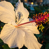 Hibiscus at sunset